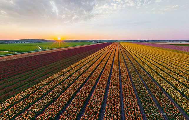 тюльпаны в свадебном декоре, цветущие поля тюльпанов в Голландии