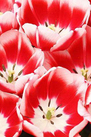 тюльпаны в свадебном декоре, сорта тюльпанов
